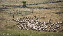 shepherd and his sheep