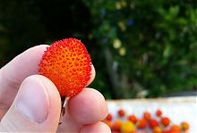 strawberry tree fruit