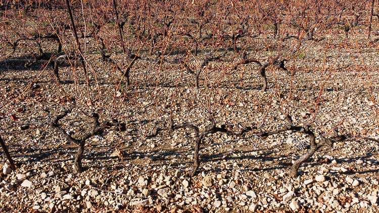 provence grape vines