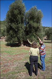 puglia olive tree picture