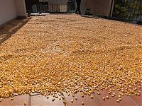 flint corn drying for polenta