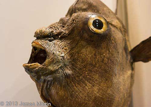 ocean sunfish picture