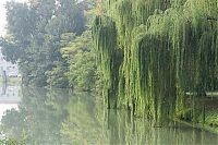 brenta willows