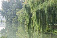 brenta willows