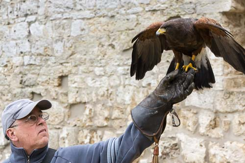 falconry picture