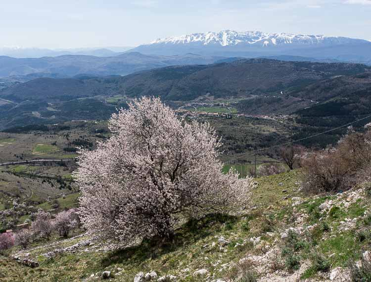 abruzzo flowering tree picture